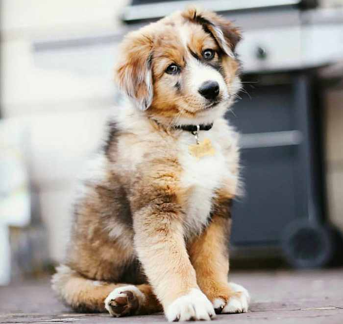 beautiful aussie puppy