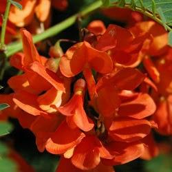 Acacia mansa Sesbania punicea