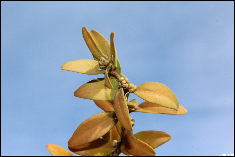 Brote de flores de boj (vista 3)