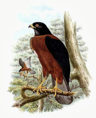 Black mantled Goshawks