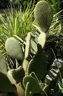 Opuntia microdasys - Oponce - Cactus microdasys