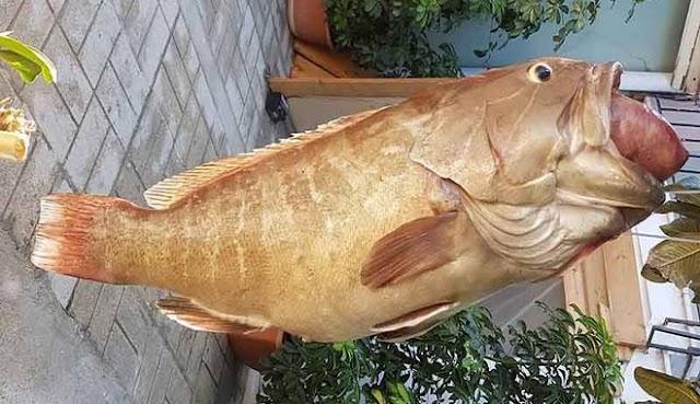 Σφυρίδα 17,5 κιλών έπιασε ερασιτέχνης ψαράς
