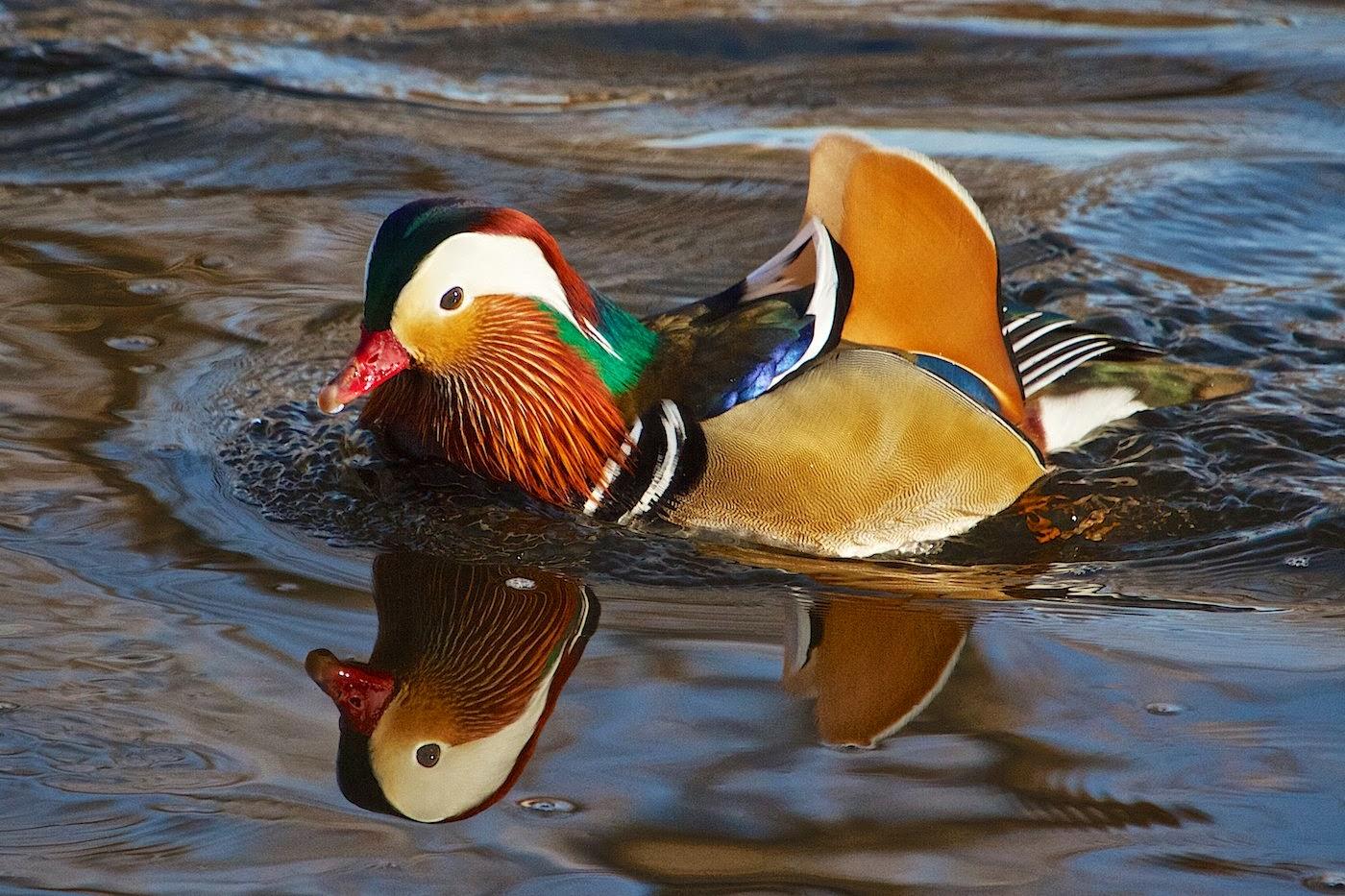 Dynamic Views: Very Cute Mandarin Duck Wallpapers Free ...
