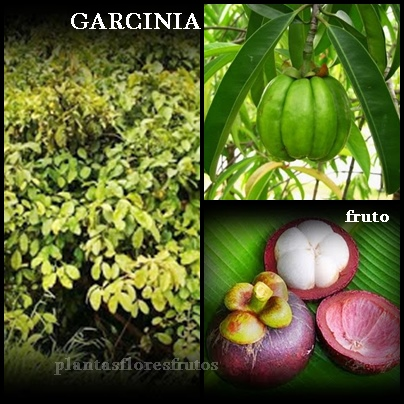 with the original garcinia product blocks fat production