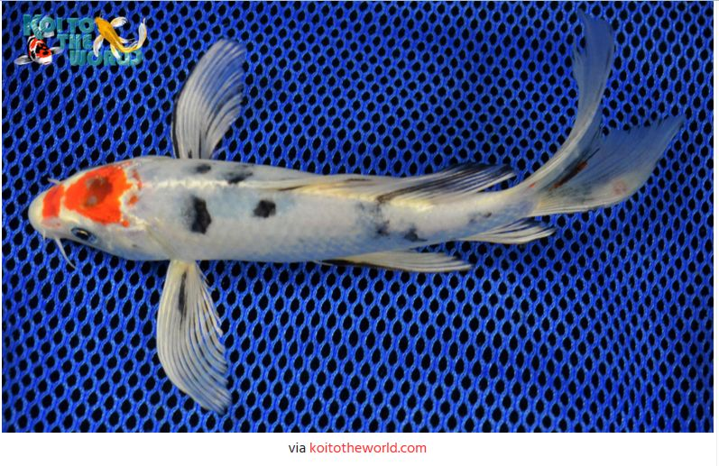 Jenis-Jenis Ikan Koi Tancho Yamato Nishiki