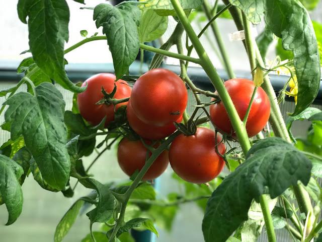 reife Tomaten am Strauch  (c) by Joachim Wenk