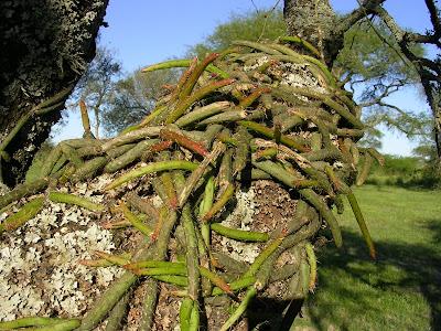 cactus de Argentina Suelda consuelda Rhipsalis lumbricoides