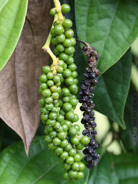 How to Grow Black Pepper, Tips for Growing Black Pepper Plant - Everything About Garden