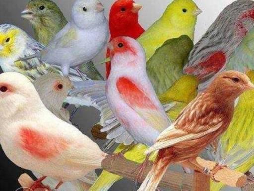 Cara Ternak Burung Kenari Dan Harga Jual Terbaru Kenari 2017
