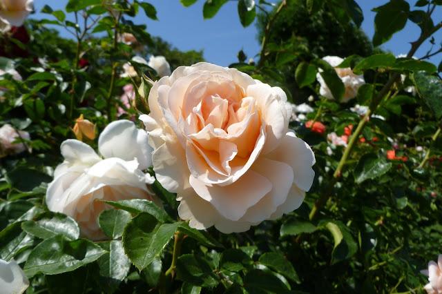 Ogród różany w Schonbrunn