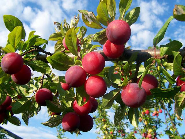 aalubukhara, prunes, homeremedies, health benefits