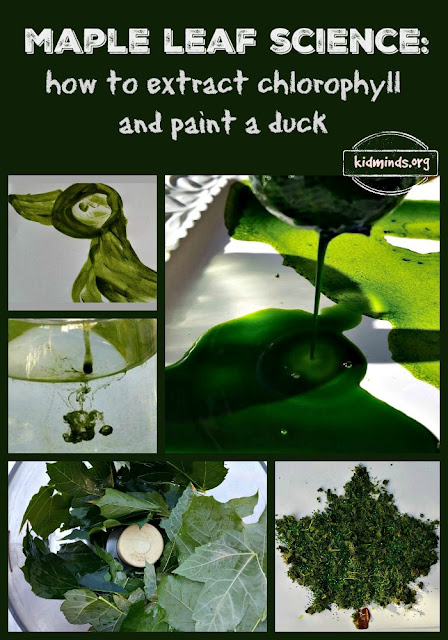 Maple Leaf Science - How to Extract Chlorophyll and paint a duck