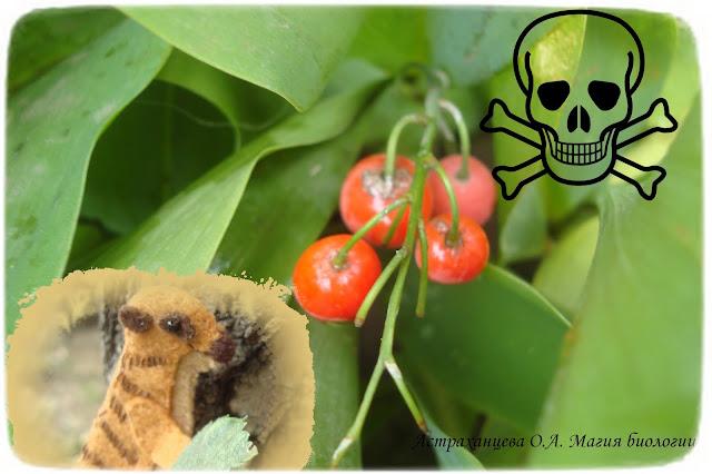 rasprostranenie-plodov-landysh-jagody-jadovitye-jendozoohorija