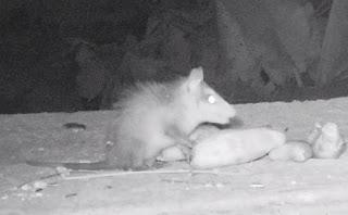 juvenile opossum in Puriscal