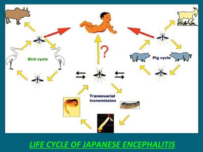 Japanese Enchephalitis (JE) pada Hewan