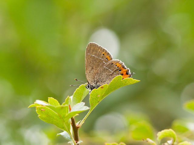 Black Hairstreak - Oxfordshire