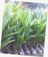 jual bibit kelapa hibrida | Budidaya bibit kelapa hibrida