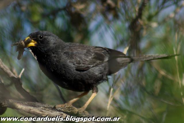 "alt=""yal carbonero,Phrygilus carbonarius,aves de Mendoza,yal"""