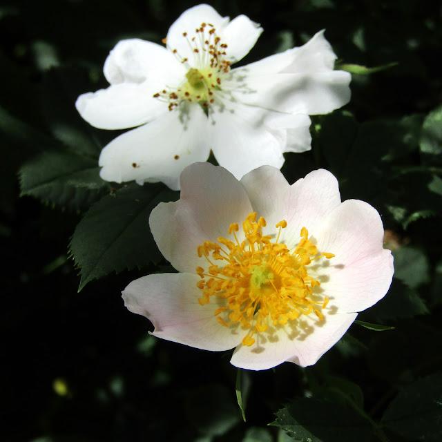 Draussen: Juniblüten