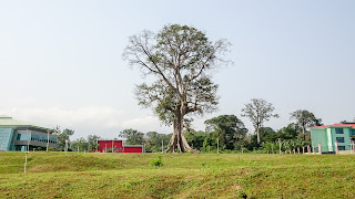 7000 people live around the Ceiba tree in Luba