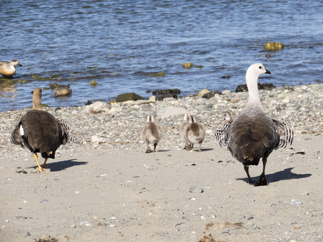 Upland geese and chicks on the shores of the Strait of Magellan in Punta Arenas
