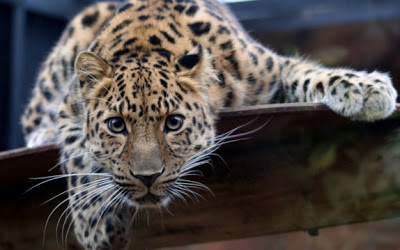Leopard looking to you