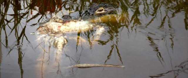 Alligator y presa
