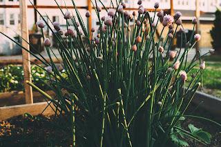 Gressløk plantet i en pallekarm
