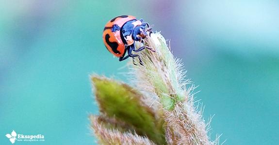 Serangga Kumbang Merah Macro