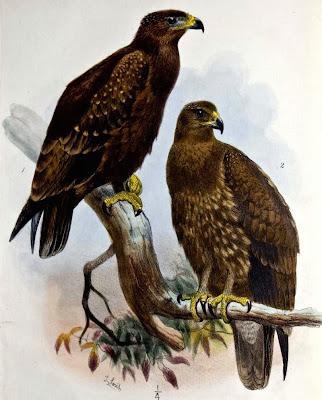 Águila moteada hindú Aquila Clanga hastata