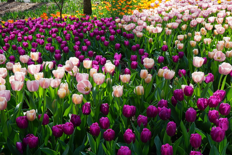 tulip mania Tulip mania: is bitcoin's boom about to turn into one of history's biggest busts.