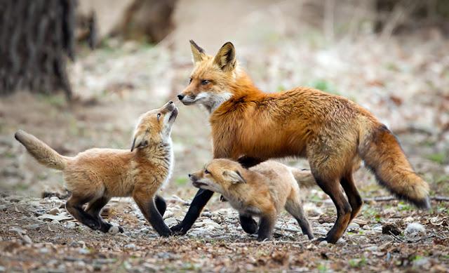 Θεσπρωτία: Γέμισε η Θεσπρωτία αλεπούδες, πολλές σκοτωμένες από αυτοκίνητα στους δρόμους...