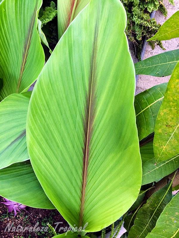 Hoja de la Flor de Abril, Curcuma zedoaria