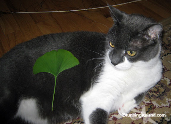 Can You Use Ginkgo Biloba on Your Cat?