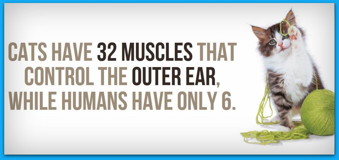 cats-have-32-muscles-that-control-outer-