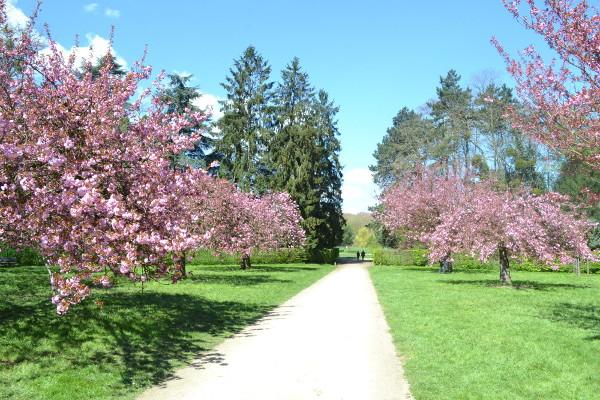 art et glam: la floraison des fleurs de cerisier au parc de sceaux