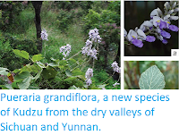 http://sciencythoughts.blogspot.co.uk/2015/04/pueraria-grandiflora-new-species-of.html