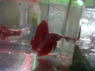 JOE'S AQUAWORLD FOR EXOTIC FISHES MUMBAI INDIA 9833898901: imported