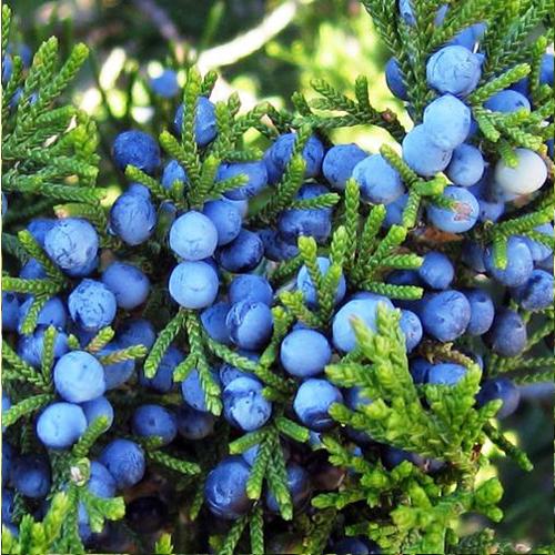 Juniper-Berry2.jpg