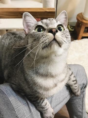 ニンゲンの太ももの上に乗っかっているサバトラ猫
