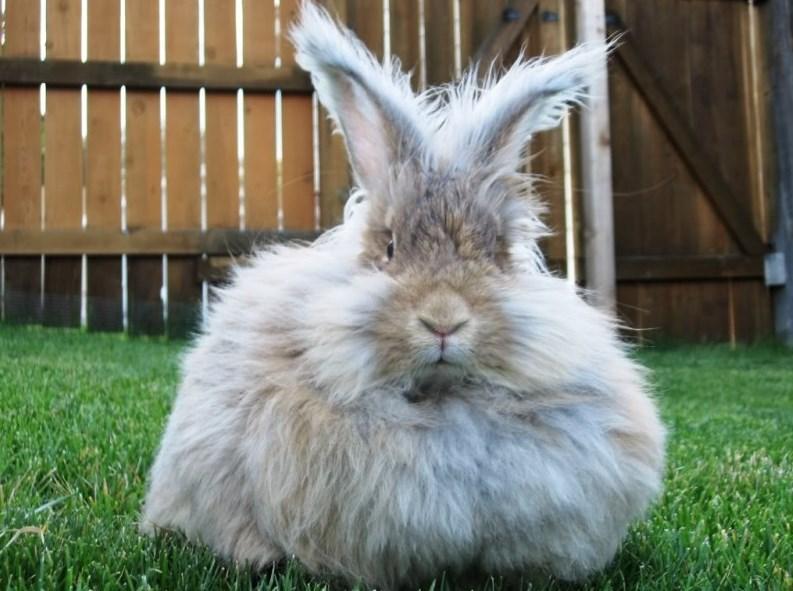 Hewan kelinci anggora lucu dan manis suka sekali kelinci imut dan manis sangat pandai melomapt dan hebat