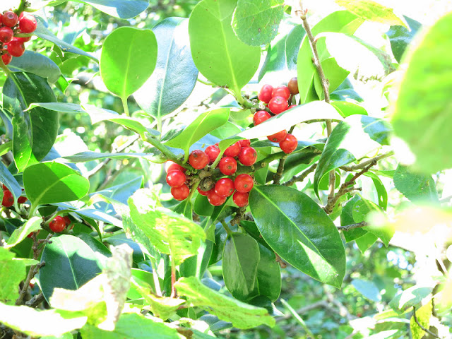 Red holly berries with prickle-less leaves