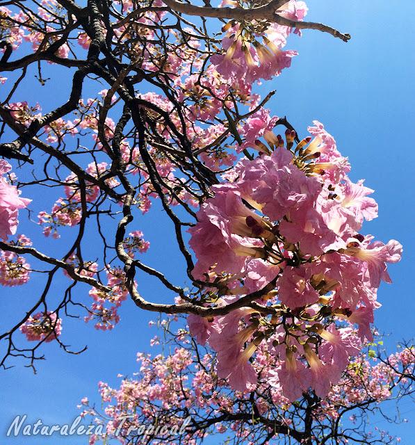 Más flores de un Árbol Primavera, Tabebuia sp