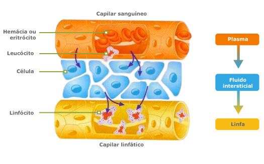 O inchaço é causado pelo excesso de saída de água dos vasos sangüíneos ou pela dificuldade de escoamento da água pelos vasos linfáticos