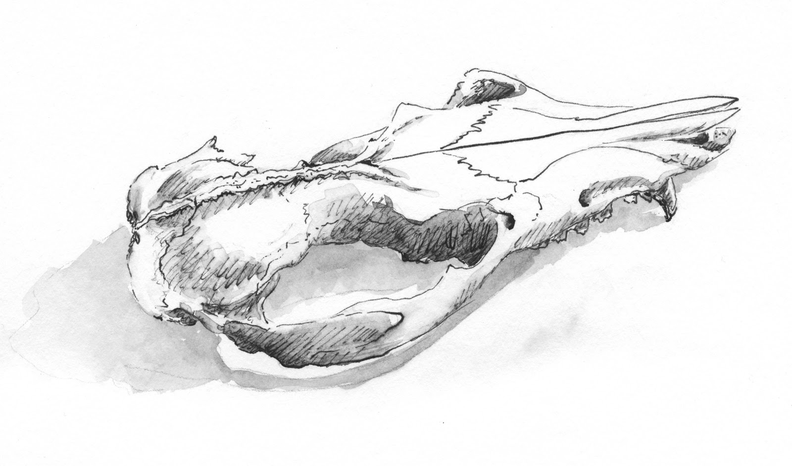 Sketching in Nature: 'Possum