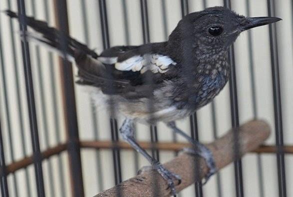 6 Ciri Fisik Burung Kacer Trotol Jantan Umur 2 Bulan Yang Akurat Kicau Mania