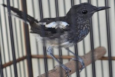 6 Ciri Fisik Burung Kacer Trotol Jantan Umur 2 Bulan Yang Akurat