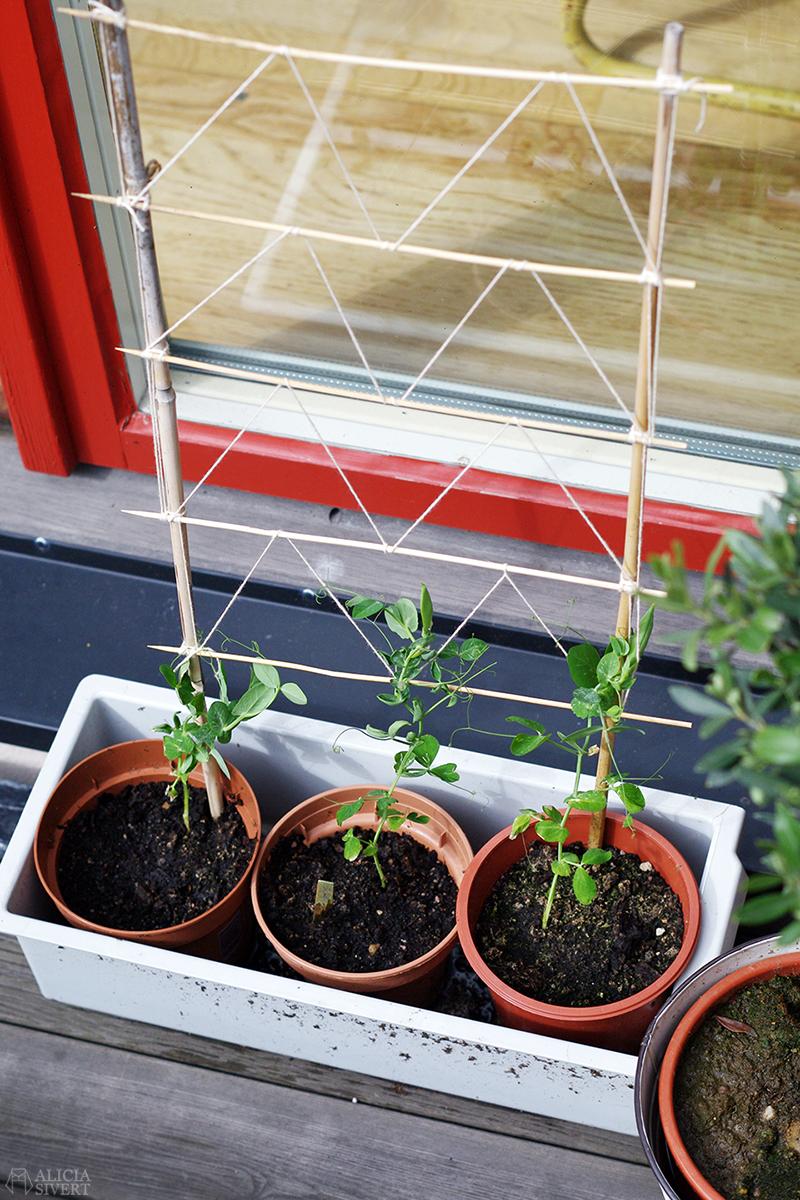 aliciasivert alicia sivert sivertsson trädgård balkongodling odla på balkong spaljé klätterväxt klätterväxter märgärt karina korssurrning korssurrningar surra
