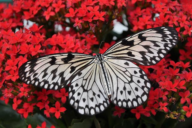 contoh descriptive text animal butterfly beserta artinya
