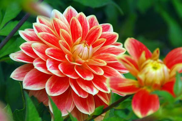 Tips Mudah perawatan Bunga Dahlia